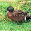 11001-43106  Brown teal, or pateke (Anas chlorotis) male in breeding plumage *