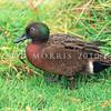 11001-43106  Brown teal (Anas chlorotis) male in breeding plumage