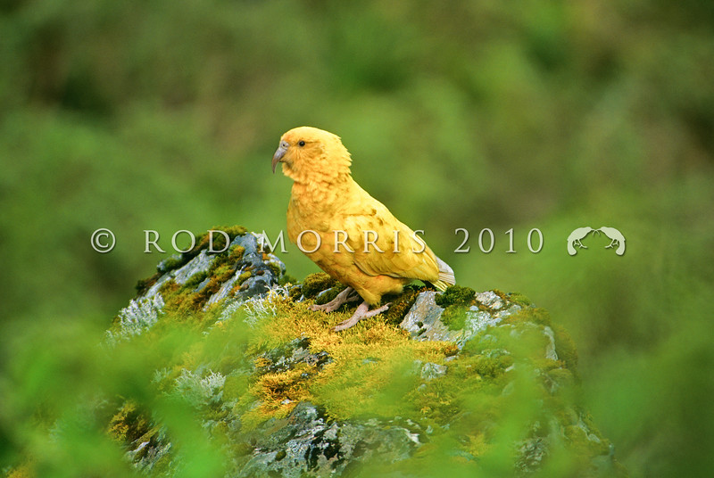 11001-72716 Kea or mountain parrot (Nestor notabilis) a wild 'golden' kea. A rare example of xanthochromism or 'xanthism' *