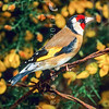 11001-85704  European goldfinch (Carduelis carduelis britannica) male in gorse hedgerow. The goldfinches long fine beak allows it to extract the seeds from thistles, which are innaccesible to other finches. New Zealand goldfinches originated from England and so are assigned to the subspecies 'brittanica'.