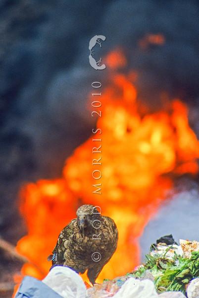 11001-72609 Kea or mountain parrot (Nestor notabilis)  scavenging in burning tip