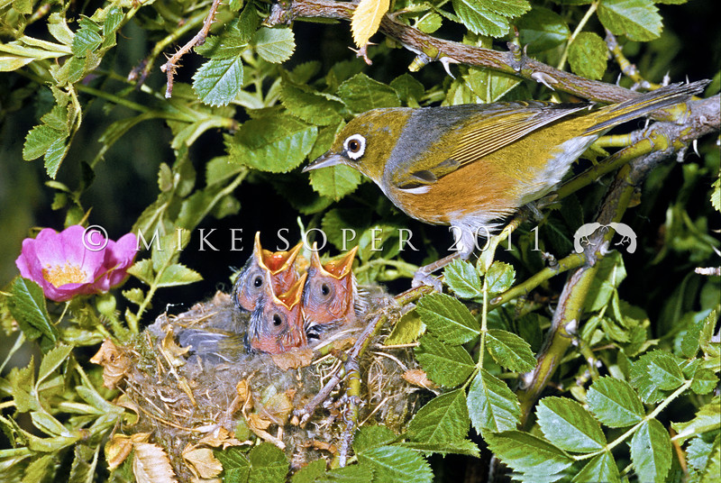 11001-83117  Silvereye (Zosterops lateralis lateralis) female with chicks in nest in sweet briar. First recorded here in 1832, and recorded breeding in 1856, the silvereye is now abundant throughout New Zealand. This subspecies hails from southeastern Australia and Tasmania *