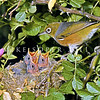 11001-83117  Silvereye (Zosterops lateralis lateralis) female with chicks in nest in sweet briar. First recorded here in 1832, and recorded breeding in 1856, the silvereye is now abundant throughout New Zealand. This subspecies hails from southeastern Australia and Tasmania.