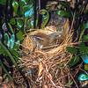 11001-80105  Snares fernbird (Bowdleria caudata) on nest in amongst Asplenium fern. Endemic to the Snares where it is the most abundant landbird, and confident on the ground - feeding in crowded penguin colonies, entering seabird burrows, and perching on slumbering sealions. It is a larger bird with a longer tail than its mainland cousins. Snares Island *