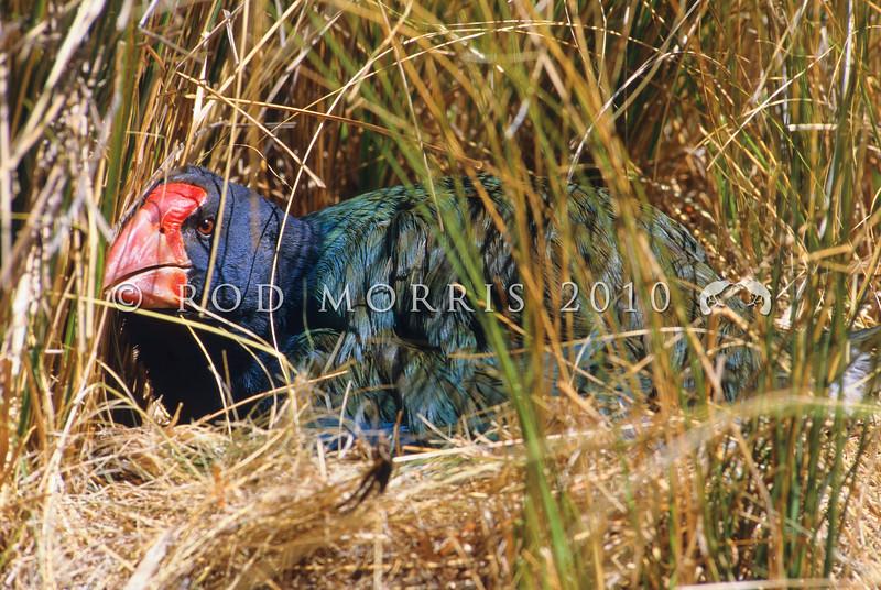 11001-51318 Takahe (Porphyrio hochstetteri) female incubating in Takahe Valley, Murchison Mountains *