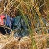 11001-51318 Takahe (Porphyrio hochstetteri) female incubating in Takahe Valley