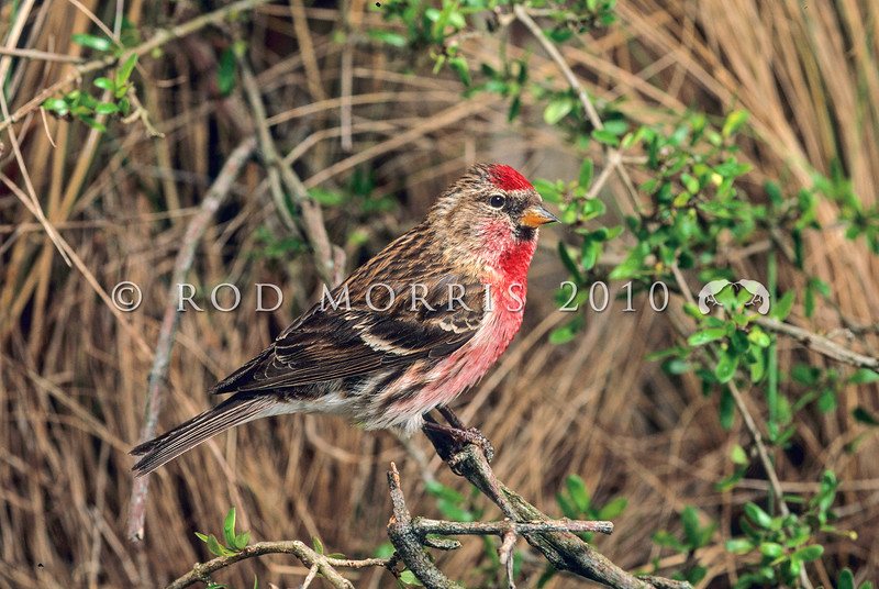 11001-85901 Common redpoll (Carduelis flammea) in tussock grassland. While this breeding male displays a distinct red wash on its breast, many breeding males are a less distinctive pink instead *