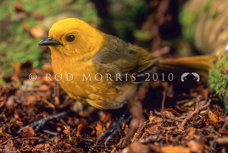 11001-80414 Yellowhead, or mohua (Mohoua ochrocephala) male on beech trunk. Catlins forest.