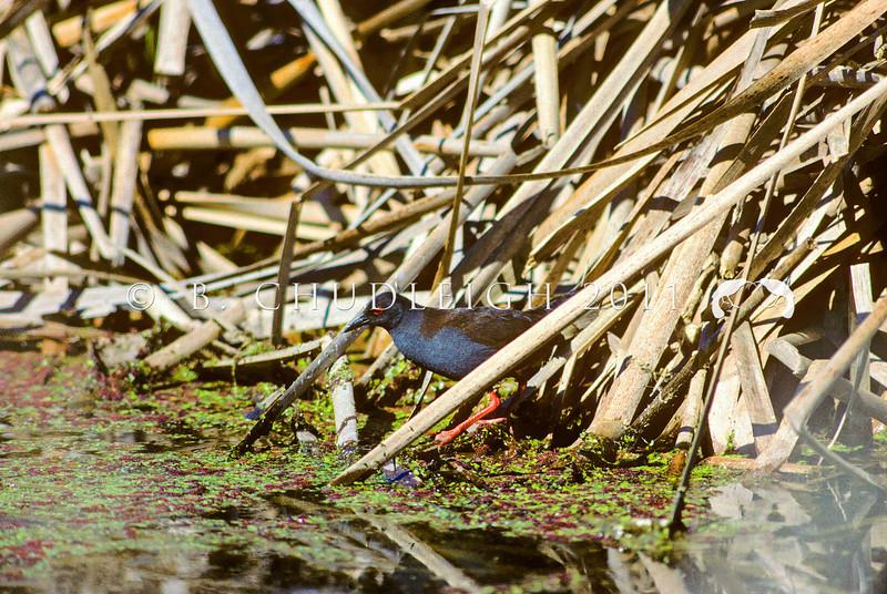 11001-50203 Spotless crake (Zapornia tabuensis) adult male foraging near raupo edge *