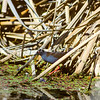 11001-50203 Spotless crake (Zapornia tabuensis) adult male foraging near raupo edge *