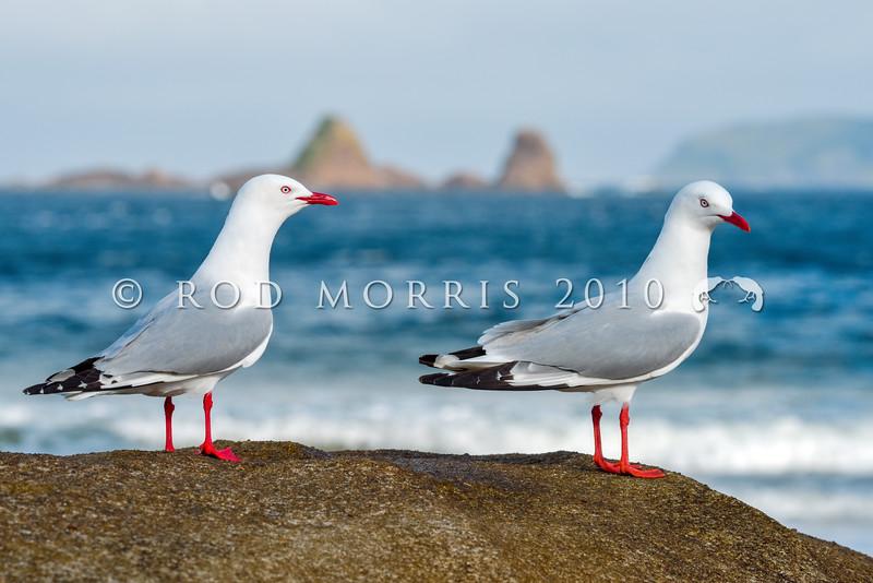 DSC_8613 Red-billed gull (Chroicocephalus novaehollandiae scopulinus) adult pair defending territory in Sealers Bay, Chalky Island, Te Kākahu-o-Tamatea, Fiordland National Park *
