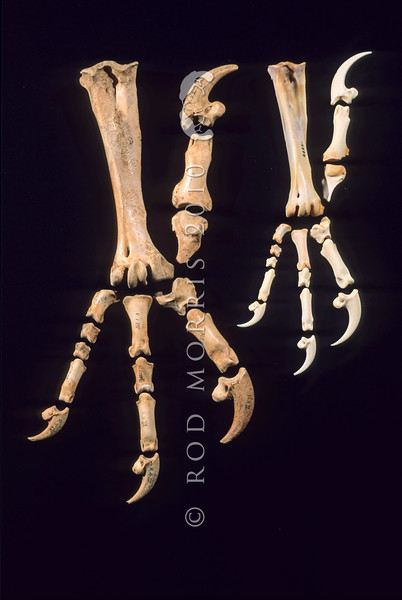 11001-45815 Haast's eagle (Aquila moorei) extinct. Widespread in the South Island in the Pleistocene, its range contracted so that in the Holocene it only occurred in mountainous areas, and east of the Southern Alps. Photo shows large foot bones compared to the smaller foot bones of a golden eagle on the right *