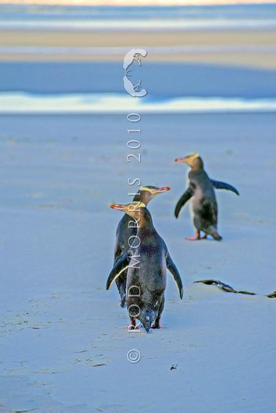 11001-25208 Yellow-eyed penguin (Megadyptes antipodes) three adults on beach. Otago Peninsula *