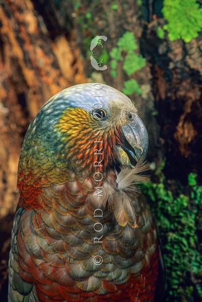 11001-71702  South Island kaka (Nestor meridionalis meridionalis) female preening
