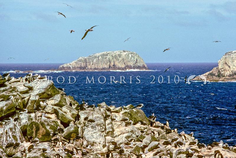11001-10203  Salvin's albatross (Thalassarche salvini) view of breeding colonies on the Bounty Islands