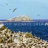 11001-10203  Salvin's albatross (Thalassarche salvini) view of breeding colonies on the Bounty Islands *