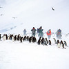 11001-26114  Southern Gentoo penguin (Pygocelis papua ellsworthyii) a small party of tourists visit a rookery prior to nesting. The flying birds are Antarctic skuas
