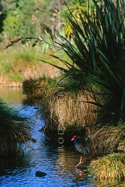 11001-50912  Pukeko (Porphyrio melanotus melanotus) female resting in wetland