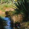 11001-50912  Pukeko (Porphyrio melanotus melanotus) female resting in wetland. Western Springs, Auckland *