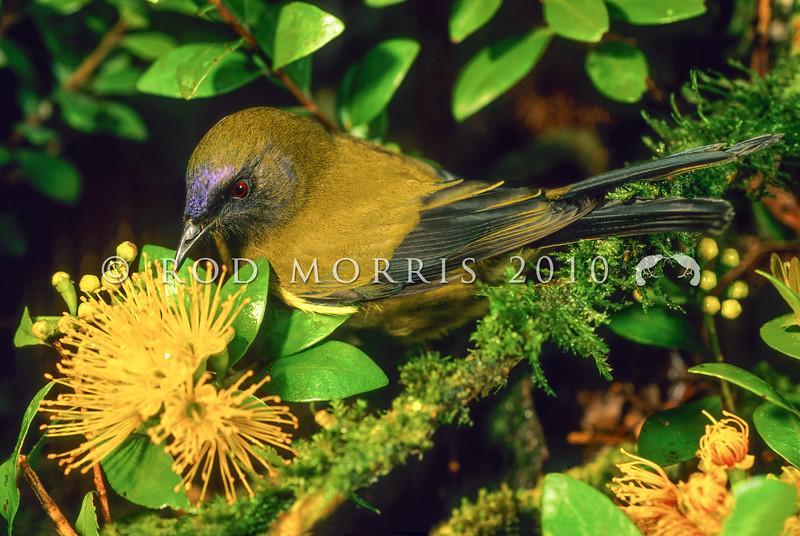 11001-83809  Bellbird (Anthornis melanura melanura) male feeding on rata (Metrisideros fulgens) nectar