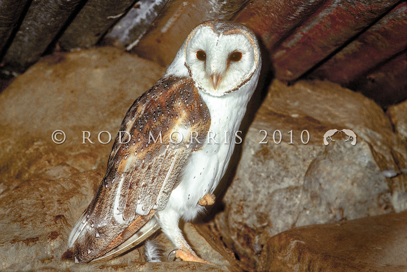 11001-76701  Australian barn owl (Tyto alba delicatula) roosting in barn. The barn owl has been a regular vagrant to New Zealand from Australia for some time. It was first recorded breeding in Northland in 2008 and the species now has an established and growing population through Northland.. *