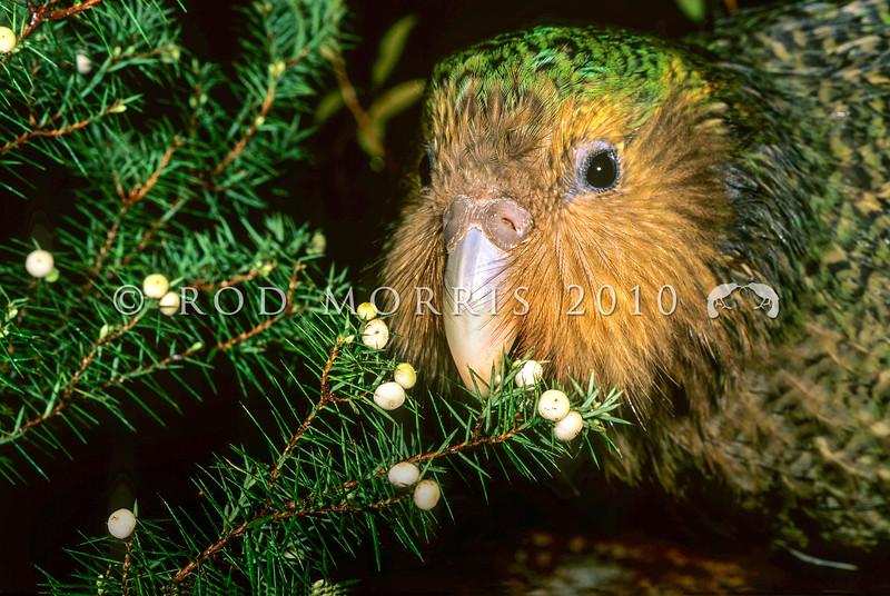 11001-70903  Kakapo (Strigops habroptilus) four month old male 'Hauturu', feeding on Cyathodes fruits on Codfish Island. August 1999 *