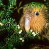 11001-70903  Kakapo (Strigops habroptilus) four month old male 'Hauturu', feeding on Cyathodes fruits on Codfish Island. August 1999.