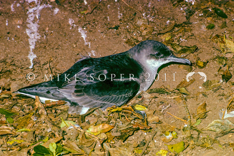 11001-15319  Fluttering shearwater (Puffinus gavia) adult outside burrow on MiddleTrio Island, in Cook Strait *