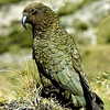 11001-71801 Kea or mountain parrot (Nestor notabilis) male in Fiordland