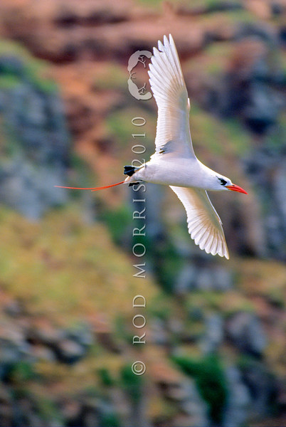 11801-31001  Red-tailed tropicbird (Phaethon rubricauda) adult in courtship flight *