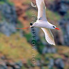 11801-31001  Red-tailed tropicbird (Phaethon rubricauda) adult in courtship flight