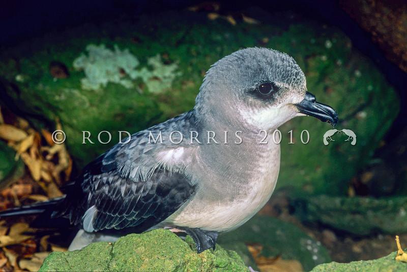 11801-20004  Black-winged petrel (Pterodroma nigripennis) adult. Philip Island