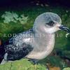 11801-20004  Black-winged petrel (Pterodroma nigripennis) adult. Philip Island *