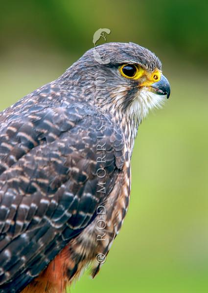 DSC_3491 New Zealand falcon (Falco novaeseelandiae) adult male 'bush' falcon from the North Island, Rotorua