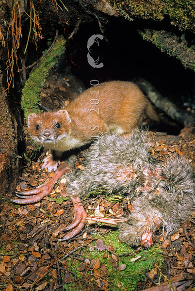 11002-21313 Great spotted kiwi (Apteryx haastii) stoat with predated chick outside den. Arthurs Pass National Park *