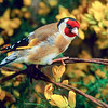 11001-85703  European goldfinch (Carduelis carduelis britannica) male in gorse hedgerow. The goldfinches long fine beak allows it to extract the seeds from thistles, which are inaccessible to other finches. New Zealand goldfinches originated from England and so are assigned to the subspecies 'brittanica'. Oamaru *