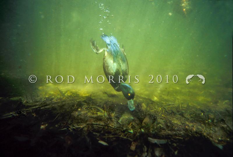 11001-44715  New Zealand Scaup (Aythya novaeseelandiae) male diving
