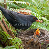 DSC_6040 Eurasian blackbird (Turdus merula merula) male with nestlings in the nest.  This introduced species is the most widely distributed bird in New Zealand, ranging from the coastline to at least 1500m a.s.l., and extending to many of our outlying sub-Antarctic islands. Otago Peninsula