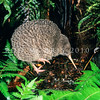 11001-04220 Little spotted kiwi (Apteryx owenii) male on forest floor *
