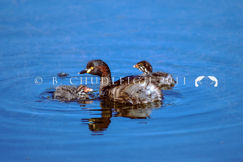 11001-06323 Australasian little grebe (Tachybaptus novaehollandiae novaehollandiae) male with young. Since early 1980's this species has bred on small ponds in Northland, expanding its range in the North Island more recently. Despite initial records from the South Island, none are currently known to be breeding there