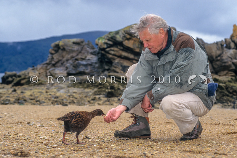 11000-10005 Stewart Island weka (Gallirallus australis scotti) with Sir David Attenborough on Ulva Island during the filming for 'Life of Birds' *