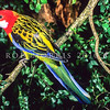 11001-72901  Eastern rosella (Platycercus eximius) male in myrtle beech (Nothofagus cunninghami)