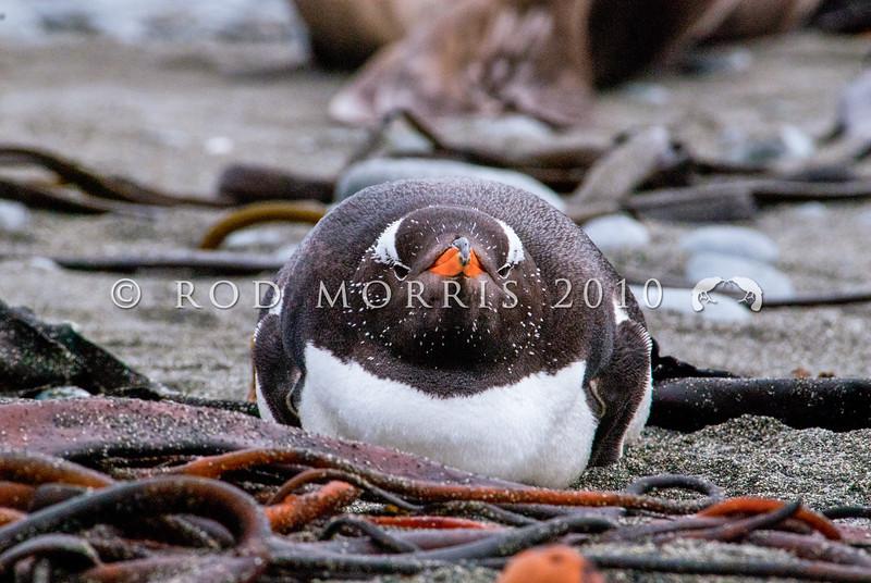 DSC_0153 Southern Gentoo penguin (Pygocelis papua ellsworthii) adult loafing on beach amongst kelp on Macquarie Island.