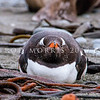 DSC_0153 Southern Gentoo penguin (Pygocelis papua ellsworthii) adult loafing on beach amongst kelp on Macquarie Island.