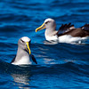 DSC_3142 Northern Buller's albatross (Thalassarche bulleri platei) adults resting at sea near Pyramid Rock, Chatham Islands. *
