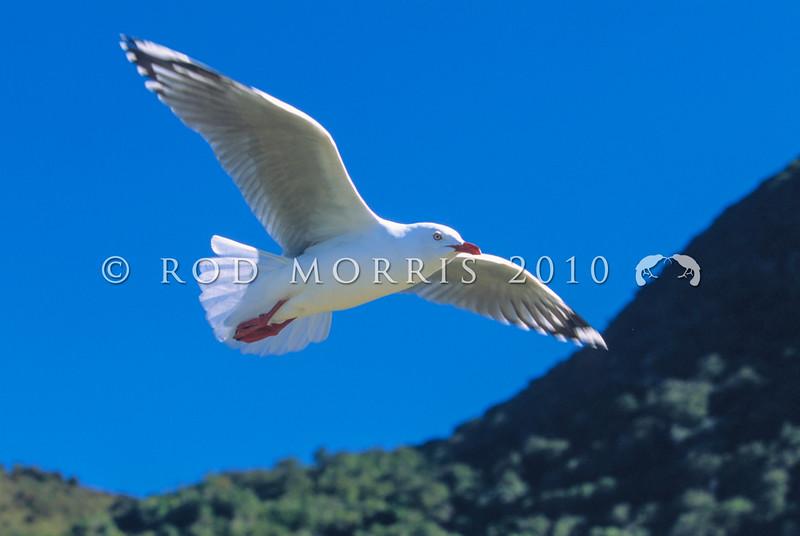11001-63704  Red-billed gull (Larus scopulinus) in flight
