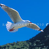 11001-63704  Red-billed gull (Chroicocephalus novaehollandiae scopulinus) in flight. Kaikoura *