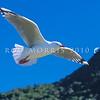 11001-63704  Red-billed gull (Chroicocephalus novaehollandiae scopulinus) in flight. Kaikoura *