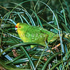 11001-75001 Forbes' parakeet (Cyanoramphus forbesi) male feeding on Carex triffida seedheads, on Little Mangere Island in the Chathams Group. Down to just a few pairs in the seventies, Forbes' have bounced back to several hundred birds now, though they are still restricted to just Mangere and Little Mangere Islands *