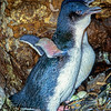 11001-27724 Little blue penguin (Eudyptula minor) breeding pair 'greeting' at nest